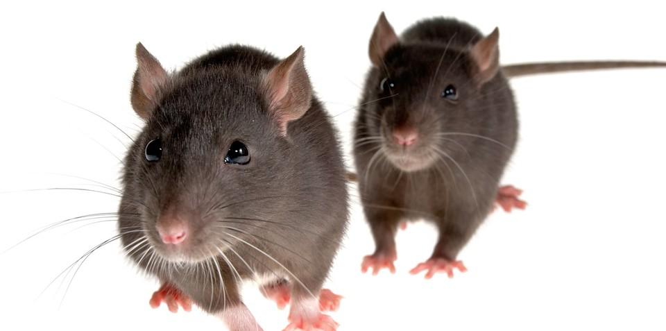 Rats attracted to heat of recharging EVs, plug-in vehicles