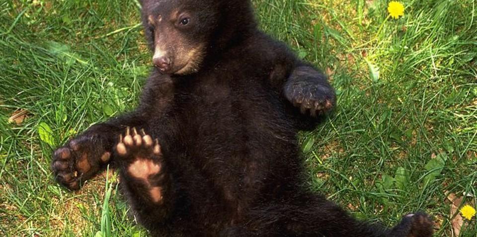 Eco-conscious bear steals Toyota Prius